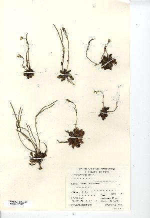 (Arabis scabra - NMW7335)  @11 [ ] CreativeCommons - Attribution (2012) National Museum Wales National Museum Wales