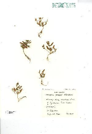 (Atriplex praecox - NMW7375)  @11 [ ] CreativeCommons - Attribution (2012) National Museum Wales National Museum Wales
