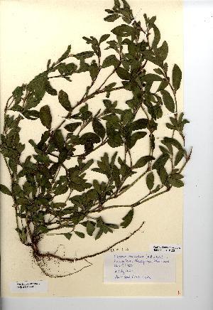 (Polygonum boreale - NMW7474)  @11 [ ] CreativeCommons - Attribution (2012) National Museum Wales National Museum Wales