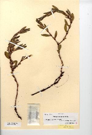 (Polygonum maritimum - NMW7476)  @11 [ ] CreativeCommons - Attribution (2012) National Museum Wales National Museum Wales
