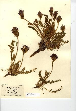 (Oxytropis halleri - NMW7580)  @11 [ ] CreativeCommons - Attribution (2012) National Museum Wales National Museum Wales