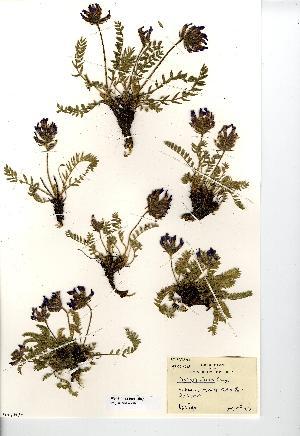 (Oxytropis halleri - NMW7581)  @11 [ ] CreativeCommons - Attribution (2012) National Museum Wales National Museum Wales