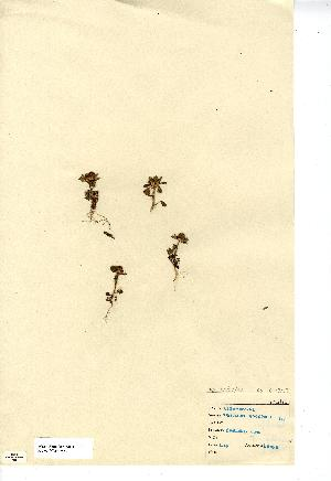 (Trifolium - NMW7584)  @11 [ ] CreativeCommons - Attribution (2012) National Museum Wales National Museum Wales