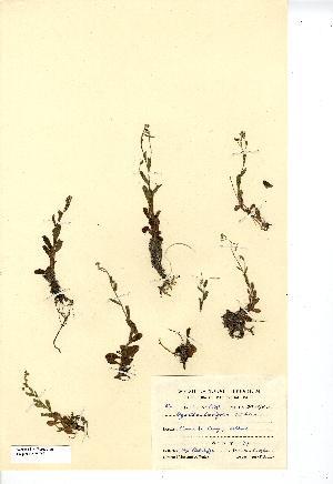 (Myosotis stolonifera - NMW7621)  @11 [ ] CreativeCommons - Attribution (2012) National Museum Wales National Museum Wales