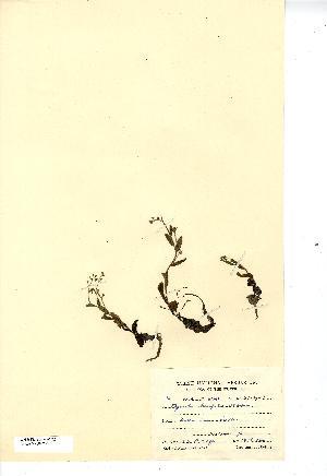 (Myosotis stolonifera - NMW7622)  @11 [ ] CreativeCommons - Attribution (2012) National Museum Wales National Museum Wales