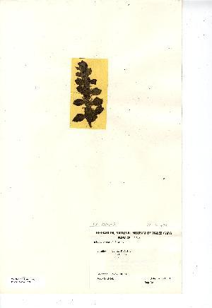 (Ajuga pyramidalis - NMW7679)  @11 [ ] CreativeCommons - Attribution (2012) National Museum Wales National Museum Wales