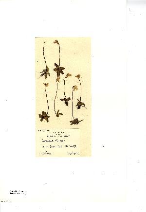 (Pinguicula alpina - NMW7704)  @11 [ ] CreativeCommons - Attribution (2012) National Museum Wales National Museum Wales