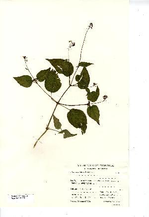 (Circaea lutetiana - NMW7852)  @11 [ ] CreativeCommons - Attribution (2012) National Museum Wales National Museum Wales
