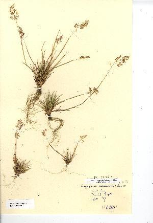 (Corynephorus - NMW8032)  @11 [ ] CreativeCommons - Attribution (2012) National Museum Wales National Museum Wales