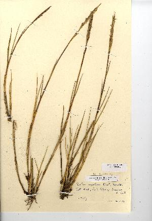 (Spartina maritima - NMW8070)  @11 [ ] CreativeCommons - Attribution (2012) National Museum Wales National Museum Wales