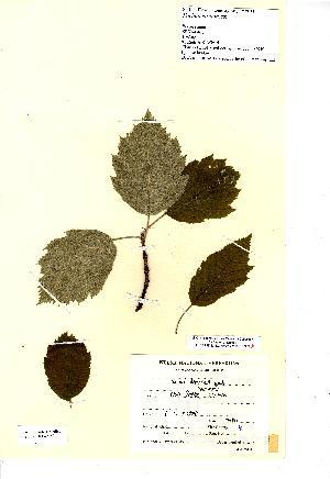 (Sorbus admonitor - NMW8153)  @11 [ ] CreativeCommons - Attribution (2012) National Museum Wales National Museum Wales