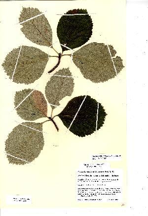 (Sorbus eminentoides - NMW8160)  @11 [ ] CreativeCommons - Attribution (2012) National Museum Wales National Museum Wales