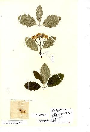 (Sorbus arranensis - NMW8177)  @11 [ ] CreativeCommons - Attribution (2012) National Museum Wales National Museum Wales