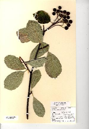 (Sorbus margaretiae - NMW8185)  @11 [ ] CreativeCommons - Attribution (2012) National Museum Wales National Museum Wales