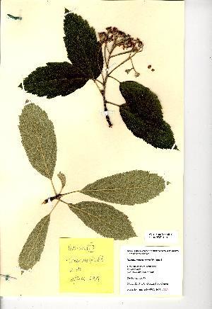 (Sorbus subcuneata - NMW8191)  @11 [ ] CreativeCommons - Attribution (2012) National Museum Wales National Museum Wales