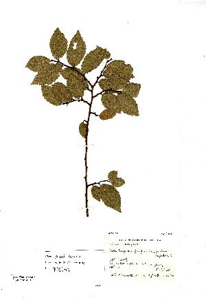 (Ulmus - NMW8201)  @11 [ ] CreativeCommons - Attribution (2012) National Museum Wales National Museum Wales