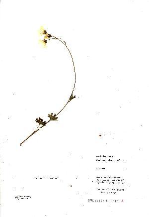 (Saxifraga granulata - NMW8231)  @11 [ ] CreativeCommons - Attribution (2012) National Museum Wales National Museum Wales