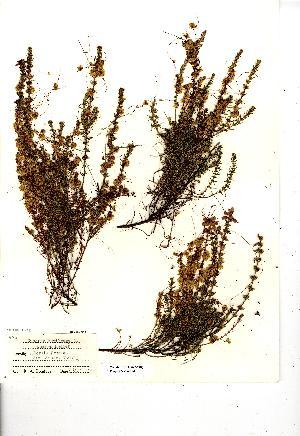 (Cuscuta epithymum - NMW8241)  @11 [ ] CreativeCommons - Attribution (2012) National Museum Wales National Museum Wales