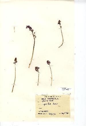 (Scilla autumnalis - NMW855)  @11 [ ] CreativeCommons - Attribution (2012) National Museum Wales National Museum Wales