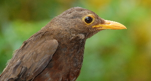 (Turdus poliocephalus - NC100-EP)  @14 [ ] Unspecified (default): All Rights Reserved  No Rights Reserved Unspecified
