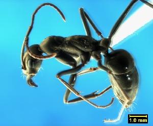 (Pachycondyla hottentota - ASA_IBA_106_01)  @14 [ ] Copyright (2011) Brigitte Braschler DST-NRF Centre of Excellence for Invasion Biology, Department of Botany and Zoology, Stellenbosch University