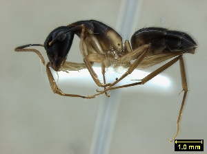 (Camponotus baynei - ASA_IBA_RONF01032007_1.2)  @11 [ ] Copyright (2012) Brigitte Braschler DST-NRF Centre of Excellence for Invasion Biology, Department of Botany and Zoology, Stellenbosch University