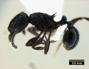 (Tetramorium grassii - ASA_ELFINDALE)  @14 [ ] Copyright (2012) Brigitte Braschler DST-NRF Centre of Excellence for Invasion Biology, Department of Botany and Zoology, Stellenbosch University