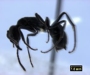 (Pachycondyla saldanhae - ASA_IBA_WOR26102010_2.8)  @13 [ ] Copyright (2012) Brigitte Braschler DST-NRF Centre of Excellence for Invasion Biology