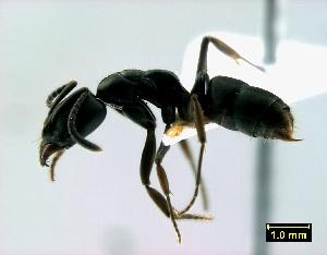 (Pachycondyla caffraria - ASA_KZN_118_01)  @14 [ ] Copyright (2012) Brigitte Braschler DST-NRF Centre of Excellence for Invasion Biology, Department of Botany and Zoology, Stellenbosch University