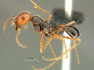 (Tetramorium sp - HYM-C024678)  @16 [ ] Unspecified (default): All Rights Reserved  Iziko Museums Unspecified