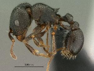 (Tetramorium clunum - SAM-HYM-C023304)  @15 [ ] Copyright (2011) Nokuthula Mbanyana Iziko Museums of Cape Town