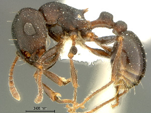 (Tetramorium sp - 30028)  @16 [ ] Unspecified (default): All Rights Reserved  Iziko Museums Unspecified