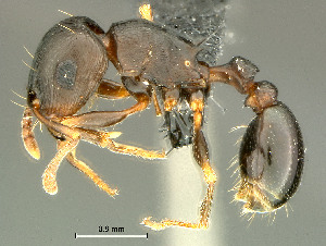 (Tetramorium sp - HYM-C027013)  @16 [ ] Unspecified (default): All Rights Reserved  Iziko Museums Unspecified