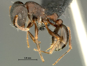 (Tetramorium sp - HYM-C027015)  @16 [ ] Unspecified (default): All Rights Reserved  Iziko Museums Unspecified