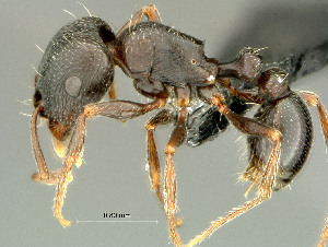 (Tetramorium sp. nov 2 - HYM-C026799)  @15 [ ] Unspecified (default): All Rights Reserved  Iziko Museums Unspecified