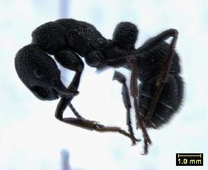 (Pachycondyla cavernosa - ASA_AM_03_0632)  @14 [ ] Copyright (2012) Brigitte Braschler DST-NRF Centre of Excellence for Invasion Biology, Department of Botany and Zoology, Stellenbosch University