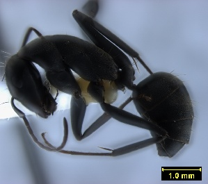(Camponotus angusticeps - ASA_AM_07_0635)  @13 [ ] Copyright (2012) Brigitte Braschler DST-NRF Centre of Excellence for Invasion Biology, Department of Botany and Zoology, Stellenbosch University