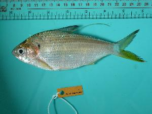 (Konosirus punctatus - SCSIO-Fish-Z711012)  @14 [ ] Unspecified (default): All Rights Reserved  Unspecified Unspecified