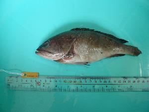 (Epinephelus sp - SCSIO-Fish-Z711079)  @13 [ ] Unspecified (default): All Rights Reserved  Unspecified Unspecified