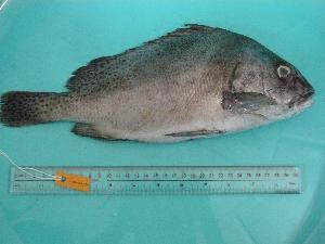 (Plectorhinchus cinctus - SCSIO-Fish-Z711096)  @14 [ ] Unspecified (default): All Rights Reserved  Unspecified Unspecified