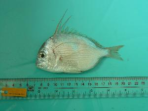 (Evynnis - SCSIO-Fish-Z711230)  @15 [ ] Unspecified (default): All Rights Reserved  Unspecified Unspecified