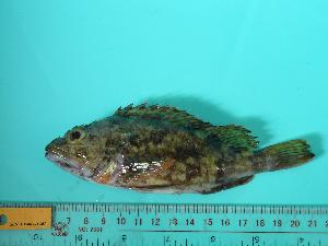 (Sebastiscus marmoratus - SCSIO-Fish-Z711280)  @13 [ ] Unspecified (default): All Rights Reserved  Unspecified Unspecified