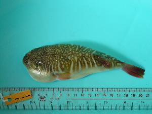 (Takifugu oblongus - SCSIO-Fish-Z711286)  @14 [ ] Unspecified (default): All Rights Reserved  Unspecified Unspecified