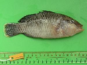 (Cheilinus undulatus - SCSIO-Fish-Z711288)  @14 [ ] Unspecified (default): All Rights Reserved  Unspecified Unspecified