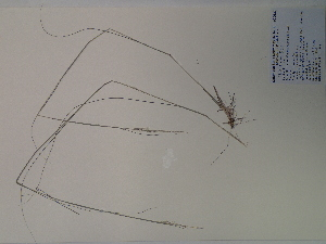 (Sporobolus clandestinus - SEBB-1188)  @11 [ ] Copyright (2012) John Barone Columbus State University