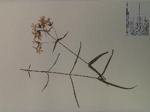 (Phlox pilosa - SEBB-926)  @11 [ ] Copyright (2012) John Barone Columbus State University