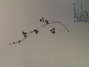 (Oxalis grandis - SEBB-184)  @11 [ ] Copyright (2012) John Barone Columbus State University