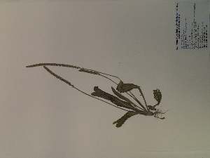 (Plantago virginica - SEBB-1283)  @11 [ ] Copyright (2012) John Barone Columbus State University