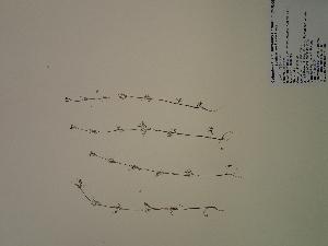(Ptilimnium - SEBB-269)  @11 [ ] Copyright (2012) John Barone Columbus State University