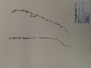 (Polygala grandiflora - SEBB-523)  @11 [ ] Copyright (2012) John Barone Columbus State University